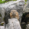 This a pika (pronounced pie-kah, not like the pokemon).