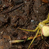 I believe this is a <i>misumena vatia</i> (Goldenrod Crab spider). In any case, it's some kind of crab spider. We saw it near the start of the hike. it was suspended by some silk in the middle of the trail. These aren't supposed to be on the ground, and it didn't look so comfortable there.