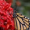 Monarch butterflies are black with white spots. This makes them a pain to photograph.
