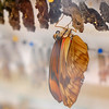 """They have this glass case where they put all the chrysalises. This guy was still pumping up his wings. It's more fun watching it sped up (like say, in David Attenborough's """"Life in the Undergrowth"""")."""