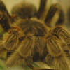 """A lot of their bugs were dead. I think this gal was alive, but they don't move much. She had a pretty big grub wiggling around on her, though. Evidently, she """"passed away"""" recently ( <a href=""""http://www.pacsci.org/articles/rosie_021408.html"""">http://www.pacsci.org/articles/rosie_021408.html</a> )"""