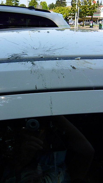 While we were at Anthony's for brunch, a seagull used the rental car to bust open its meal.