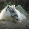 The arctic foxes are almost never out. The other one was visible, but not where I could get a good picture of it. That one is all grey, so when it's in the shade it's impossible to photograph.