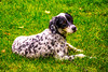 Lee-Hoepfinger-Hunting-Dog-DSC_2862