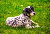 Lee-Hoepfinger-Hunting-Dog-DSC_2862