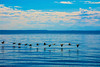 Geese-Puget-Sound-Olympic-Mountains-8-27-2014-Picnic-Point-Edmonds-Washington-Garson-Shortt-Photography-DSC_4142-2