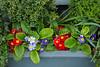 Window box flowers in La Conner, Washington, USA.