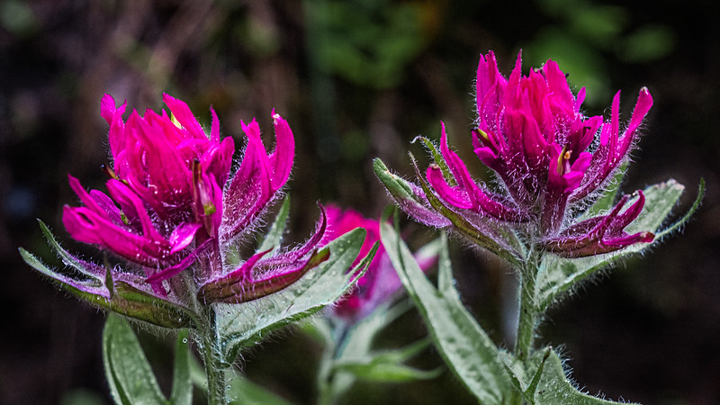 Magenta Paintbrush
