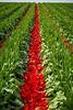 Tulip heads topped at the Roozengaarde tulip bulb fields near Mount Vernon, Washington, USA.