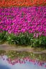 Roozengaarde tulip bulb fields near Mount Vernon, Washington, USA.