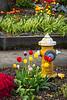 Spring flowers adorn the streets of Mount Vernon, Washington, USA.