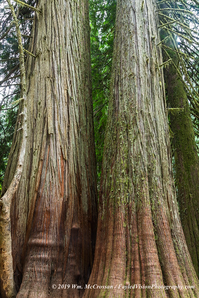Grove of the Patriarchs, Mt. Rainier N.P.