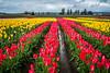 Tulip fields at Tulip Town near Mount Vernon, Washington, USA.
