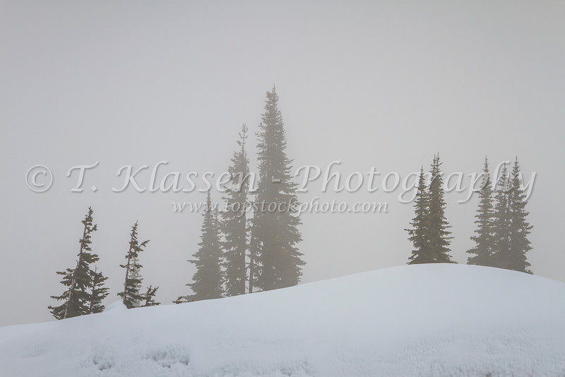 Evergreen ghost trees on Mt. Ranier, Washington, USA.