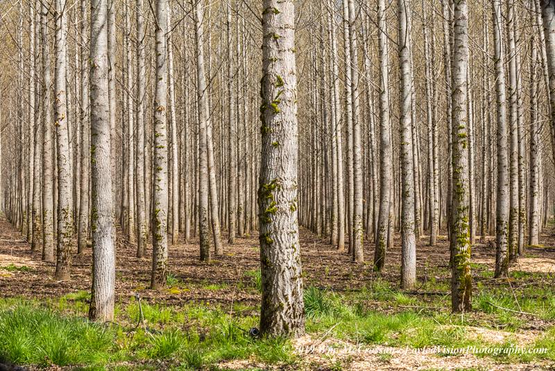 Poplar Tree Plantation