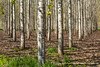 20150409_poplar_tree_plantation_WA_0001