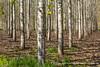 20150409_poplar_tree_plantation_WA_0001