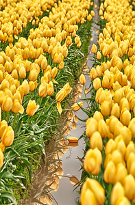 The Last Tulips: as the Skagit Valley says so long to another season's blooms