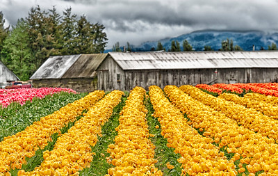 Tulip Rows: a high dynamic range interpretation of the Skagit tulip fields.