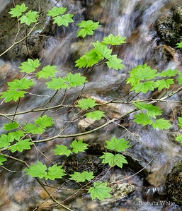 Vine Maple and Stream