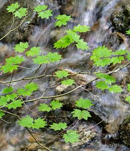 Vine Maple and Stream