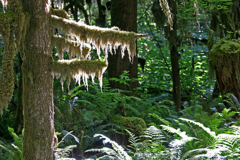 The dense forest has it's ever present display of moss and ferns.