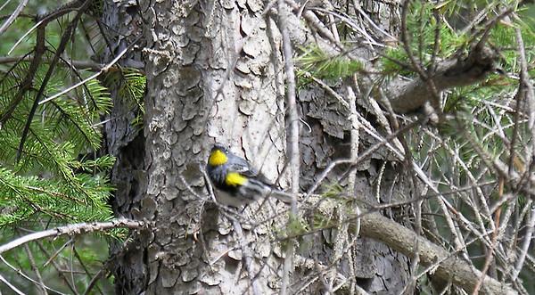 Yellow-rumped Warbler (Audubon's variety)