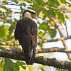 crested caracara skykomish washington fourth record for the state