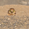 burrowing owl othello washington