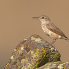 rock wren moses lake washington state