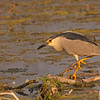 black- crowned night-heron moses lake washington