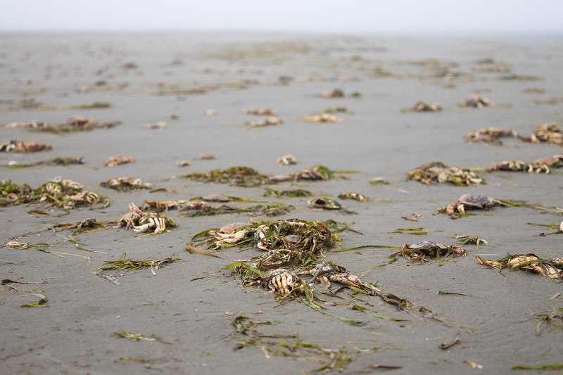 Grays Harbor, Seabrook - Thousands of dead crabs litter the beach