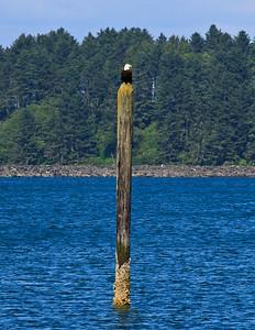 Bald eagle (Haliaeetus leucocephalus