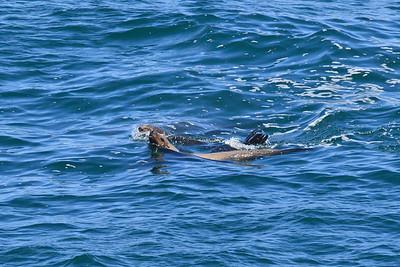 California sea lion at Cape Flattery