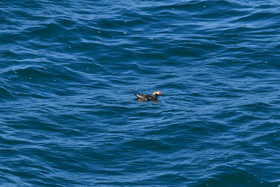 Cape Flattery, Tufted Puffin (Fratercula cirrhata)