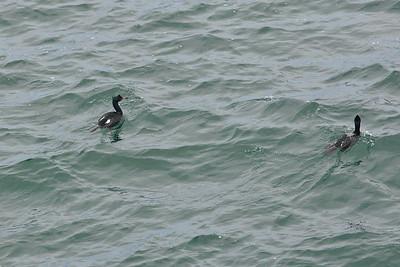 Cape Flattery,  Pelagic cormorant (Phalacrocorax pelagicus)