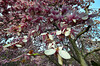 Tulip  poplar series