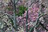 Tulip Poplar bark