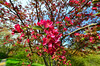 Alleged crabapple, series