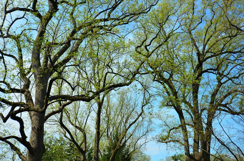 Oaks in spring