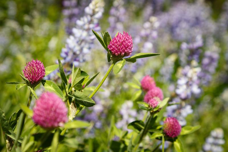 Leavenworth, Eightmile - Close up of pink and purple wildflowers