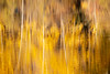 Easton, Pond - Abstract of reflection of yellow and tree trunks in lake, dark section