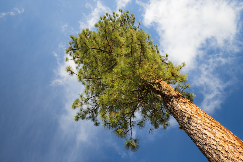 Kittitas, Blewett Pass -  Large ponderosa pine tree reaching for the sky