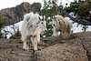 Stuart, Ingalls - Two mountain goats shedding winter coats