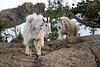 Stuart, Ingalls - Two mountain goats shedding winter coats
