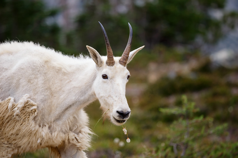 Stuart, Ingalls - Mountain goat chewing on a flower