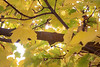 Kittitas, Thorp - Close up of maple tree branch