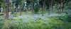 Kittitas, Watts Canyon - Forest floor covered with lupine in big stand of trees