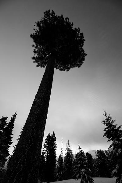 Kittitas, Blewett Pass - Wide angle view of a ponderosa at sunrise, black and white