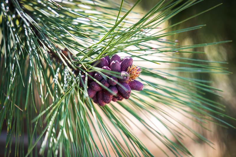 Kittitas, Iron Horse Trail - Close up of ponderosa pine needles and cone